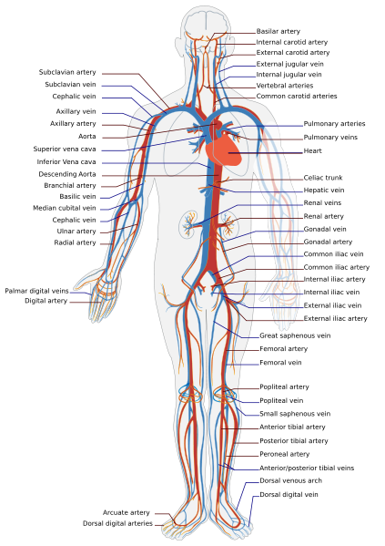 the circulatory system for kids. Components of the Circulatory