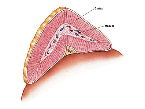 adrenal gland,pituitary gland,adrenal gland location,adrenal gland mass,adrenal gland function,adrenal gland tumor,adrenal fatigue,adrenal gland disorders,adrenal gland symptoms,