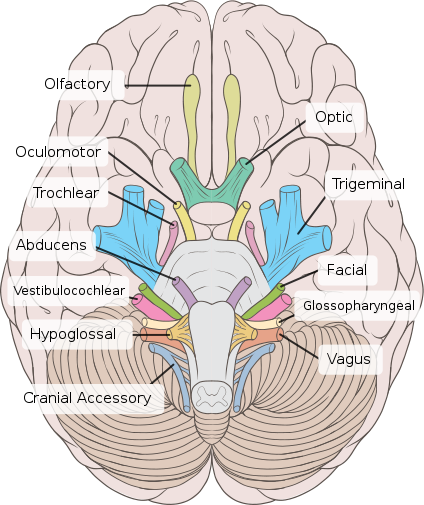 The Cranial Nerves are nerves that originate from the brain stem .
