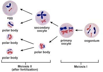 InterActive Health - Oogenesis