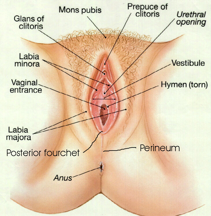 Free female vulva diagrams